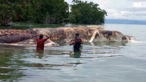 Bangkai Paus Sepanjang 22 Meter Terdampar di Seram