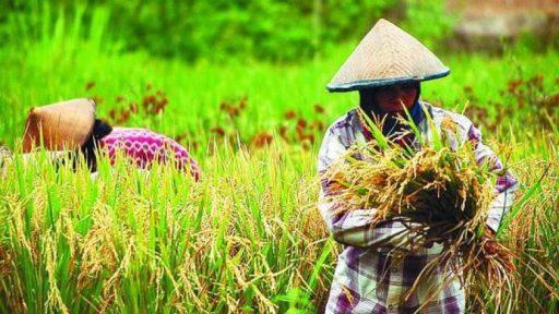 Bulog Sulteng Targetkan Beli 40 Ribu Ton Beras Petani