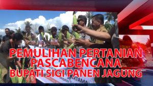 VIDEO : Pemulihan Pertanian Pascabencana, Bupati Sigi Lakukan Panen Jagung Perdana