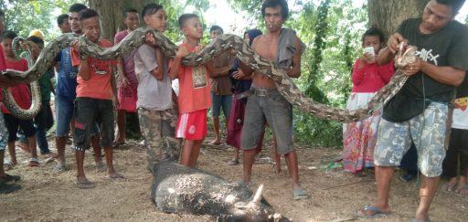 Heboh, Warga Desa Bangga Temukan Ular Piton Sepanjang 7 Meter