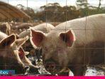 Flu Babi Baru Muncul di China, Akankah Jadi Pandemi dan Haruskah Kita Waspada?