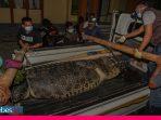 Buaya Ukuran Jumbo kembali Ditangkap di Donggala, Warga: Masih Ada yang Besar